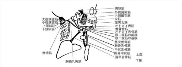 1 顎を動かす筋肉は首と肩とつながっています!